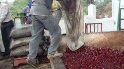 画像1: グアテマラ『サンタ・カタリーナ農園 』パカマラ種 ハイロースト 100g