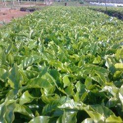 画像3: ブラジル『マカウバデシーマ農園』ボイア・ナチュラル フレンチロースト 100g